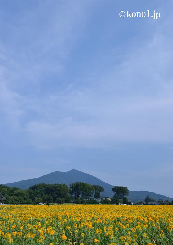 茨城県 ひまわり 花 筑波山 空 黄色
