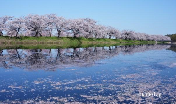 桜並木 つくばみらい 小貝川 反射 シンメトリー 花筏