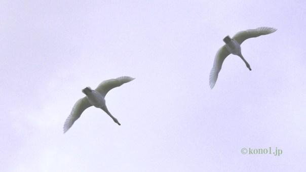 菅生沼 白鳥 コハクチョウ 飛来地 茨城県