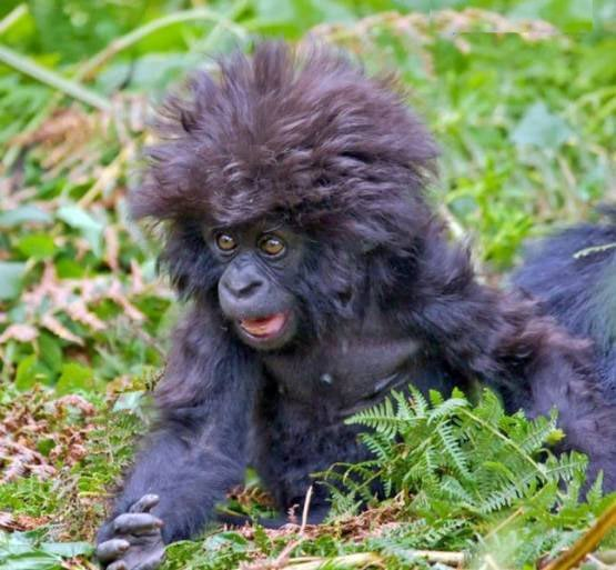 Młody goryl górski