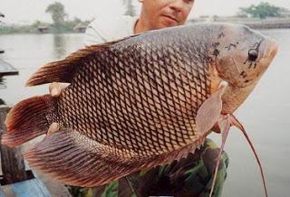 ikan gurame
