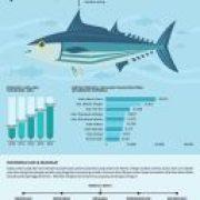 infografis komoditi tuna dan cakalang - kementrian kelautan dan kelautan - kontenesia
