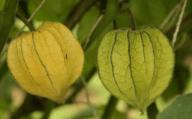 Uchuva con capacho (colores para exportación)