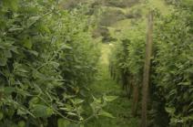 Cultivo uchuva (Ventaquemada, Boyaca)