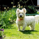 Westie Puppy Grooming Tips and Haircut Styles