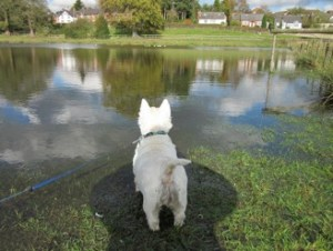 , Westie Puppy Grooming Tips and Haircut Styles
