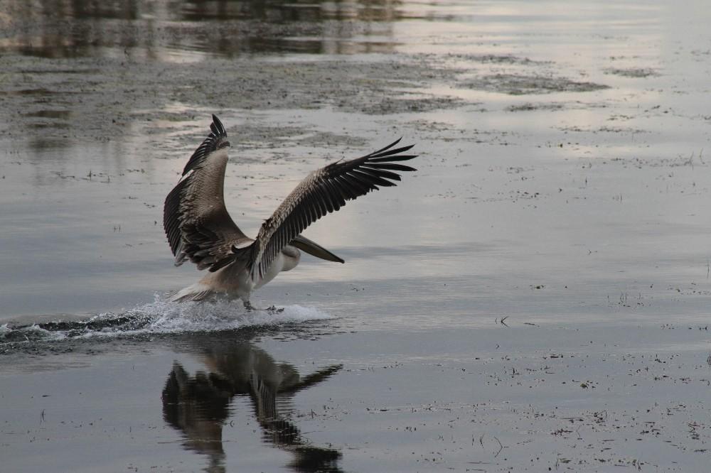 Beyşehir Gölü'nü mesken tutan pelikan ilgi odağı oldu