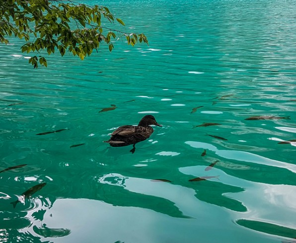 Exceptional biological diversity and turquoise colour in one of the lakes with ducks and fish