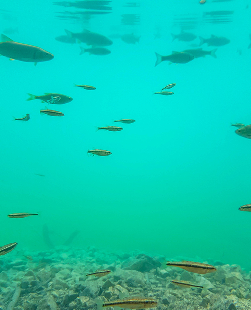 Underwater life of diverse fish in turquoise lakes of Plitvice