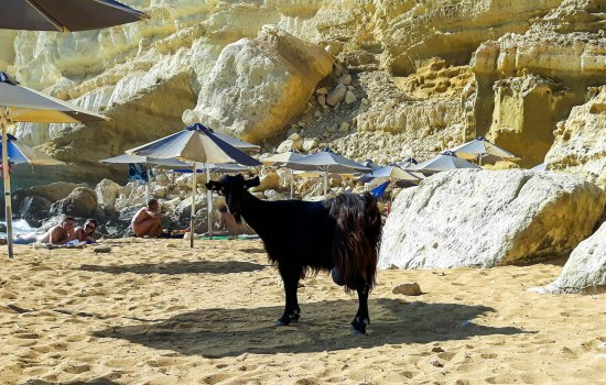 Funny goat in Red Beach Crete island