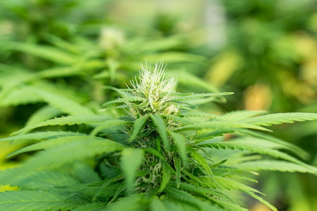 Cannabis female plant
