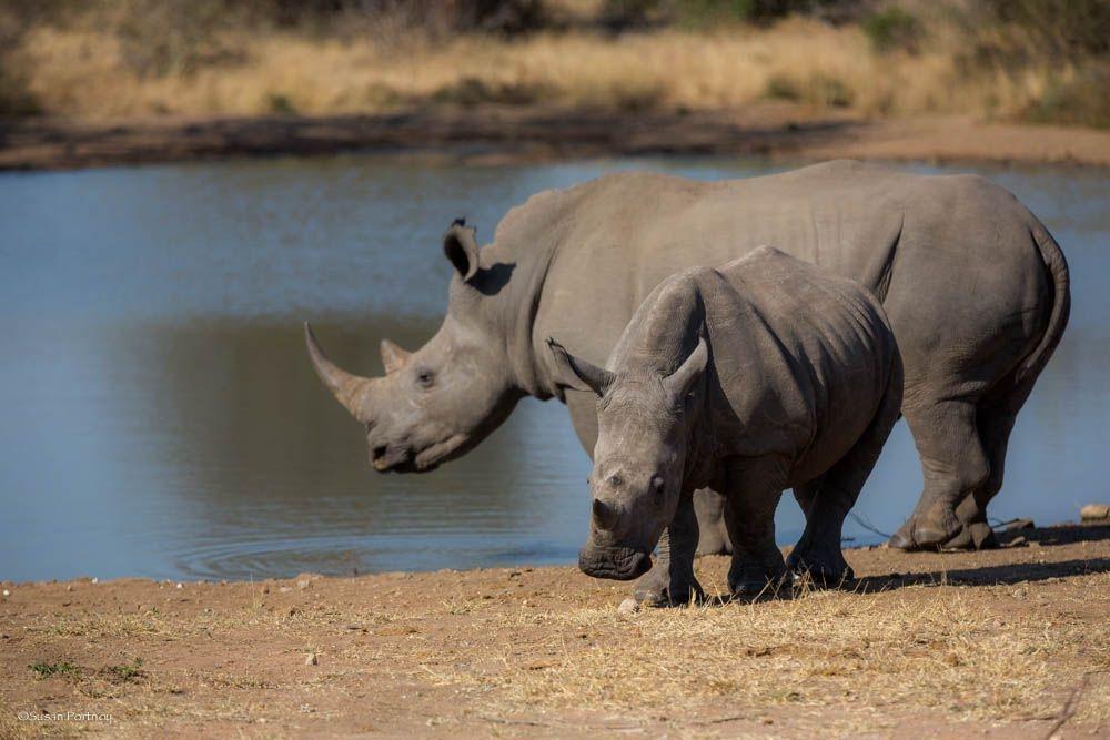 JustOneRhino: two rhinos