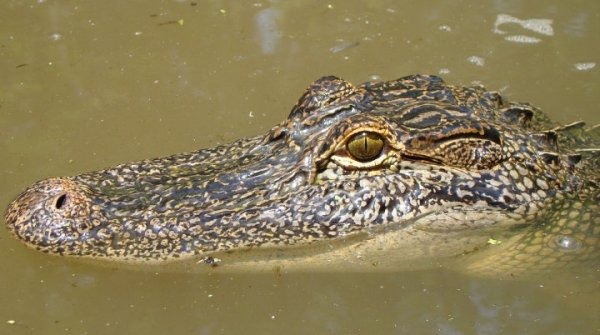 A side headshot of a gator in Honey Island Swamp