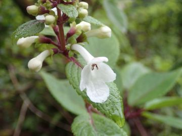 "Kāpana (Phyllostegia grandiflora) one of the ""mintless"" Hawaiian mints."