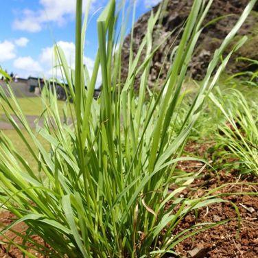 the swaying grass of kāwelu