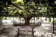Ancient Cypress at Principe Real