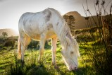 White horse in the glow of an autumn evening