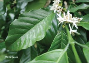 faktor yang memengaruhi pertumbuhan tanaman kopi