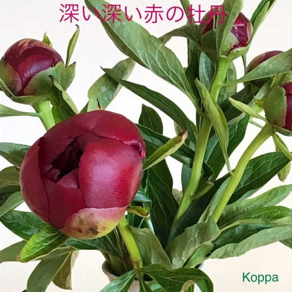 Buds of red peony