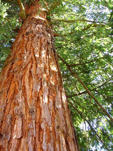 Image result for cedar tree plantation in kenya