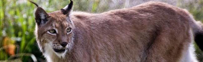 lynx Ubuntu 10.04 sera Lucid Lynx