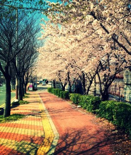Cherry Blossom Season - Ulsan, South Korea