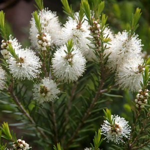 tea tree oil plant melaleuca alternifolia