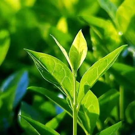 white tea leaves korean skincare benefits