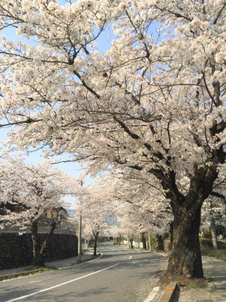 長瀞 桜トンネル