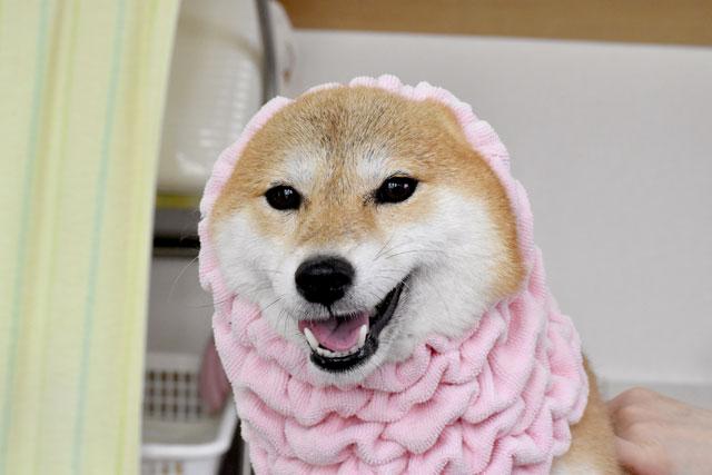 犬のシャンプー後の乾かし方