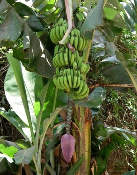 Bananensamen zur Gewichtsreduktion