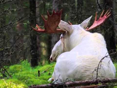 Фото белого лося.