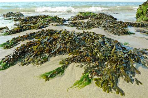 guide comment bien récolter les algues du bord?
