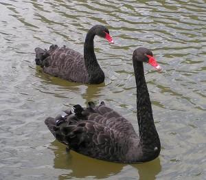 549px-Black_Swans