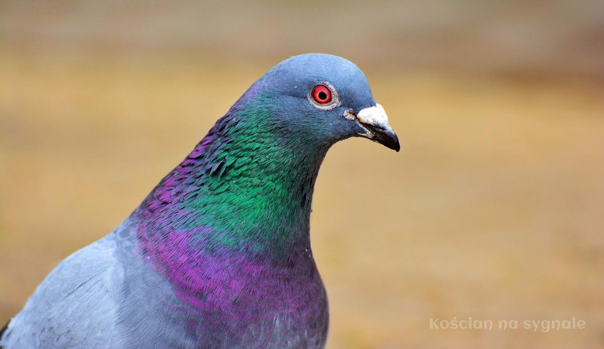 Zatrzymano złodziei rasowych gołębi