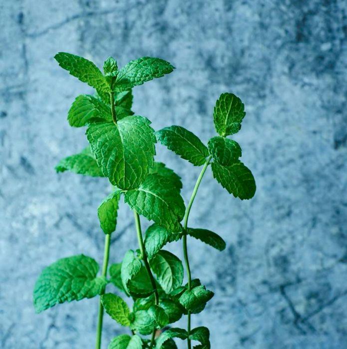 israeli_mint_herb_garden