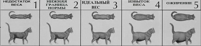 Ожирение у кошек когда любовь не во благо