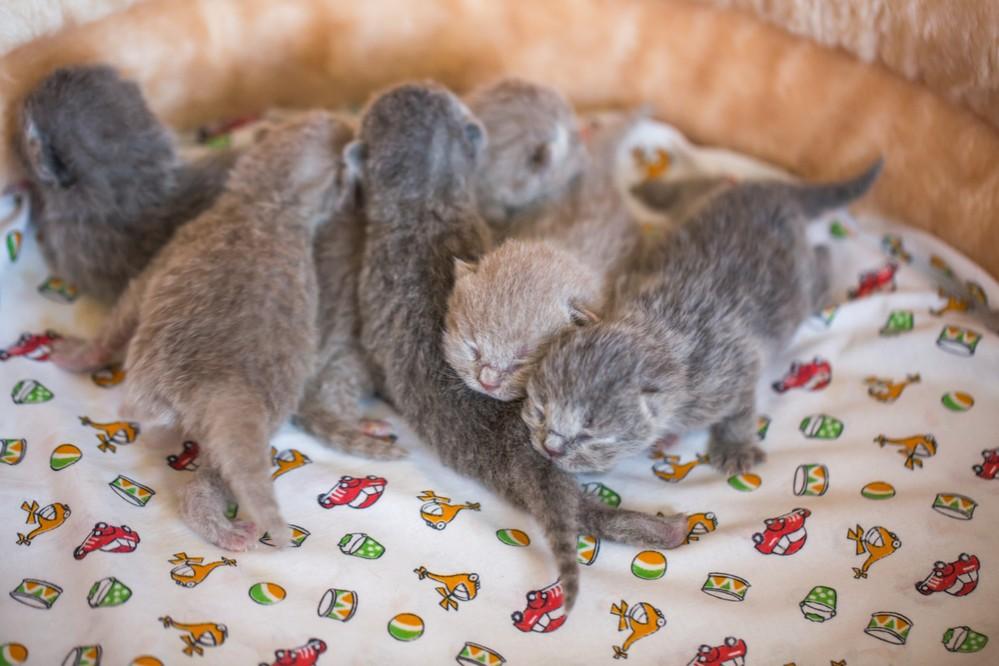 Сколько длится беременность у кошек британской породы