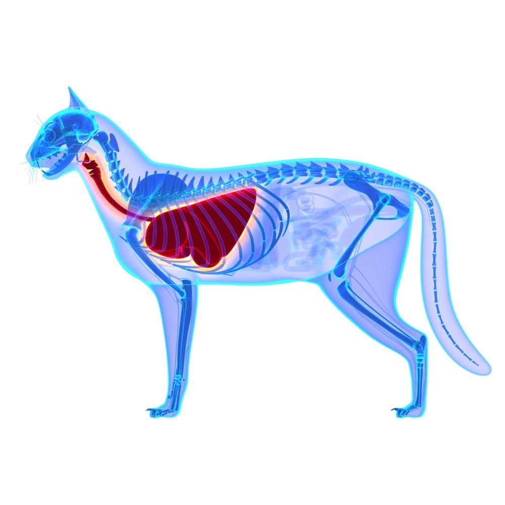 Водянка или гидроторакс у кошки причины появления и методы удаления