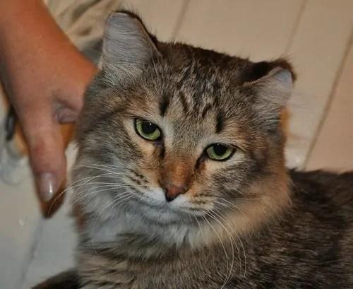 Кошка отморозила уши что делать и как помочь