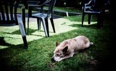 resting_hound_web