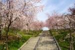東山動植物園の桜の回廊