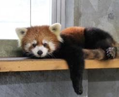 日本平動物園のレッサーパンダ