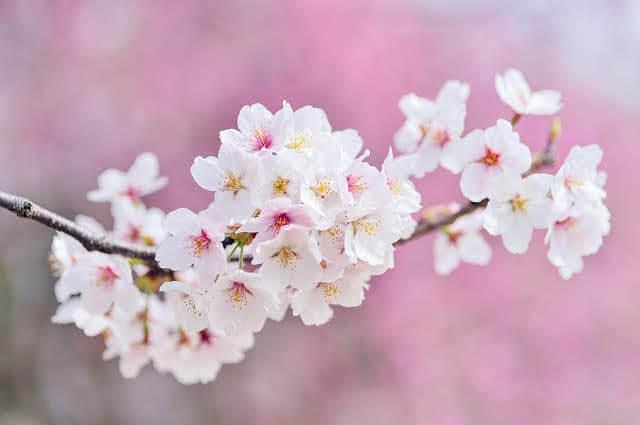 日本の小学校の入学式で連想される「桜」の木