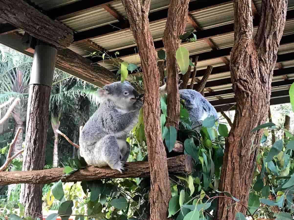 オーストラリア動物園のコアラが2匹写っている写真  @kosodatebrisbane.com