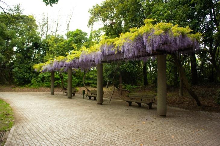 富津市 市民ふれあい公園の藤