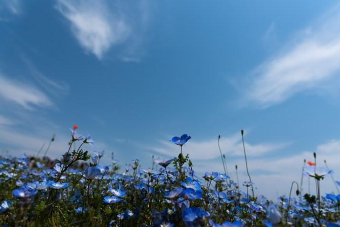 ひたち海浜公園ネモフィラと空