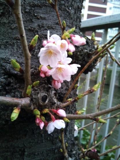 目黒川の桜 少しつぼみあり