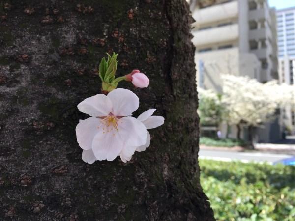 街路樹の桜の花びら
