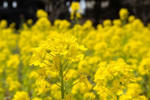 千葉公園の菜の花